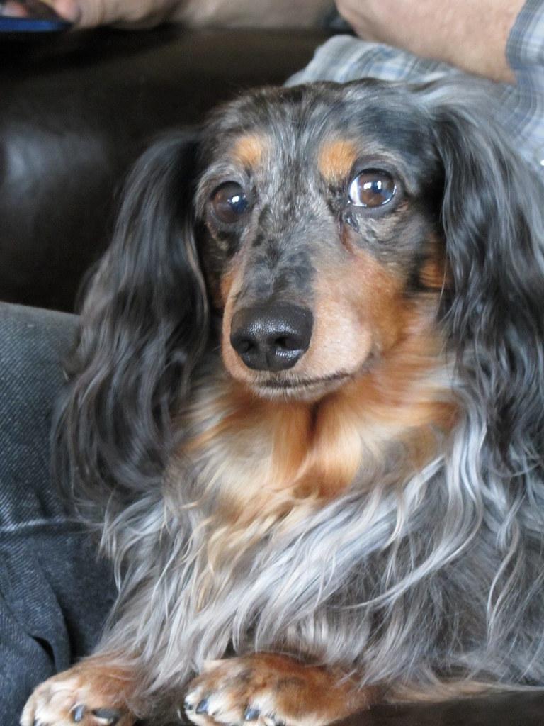 Long Haired Dapple Dachshund   Galhairs