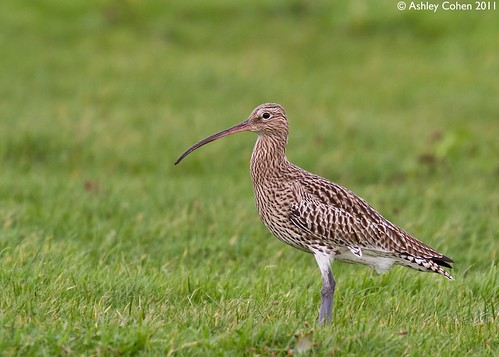Curlew - Flushed by the Tide | by Ashley Cohen Photography