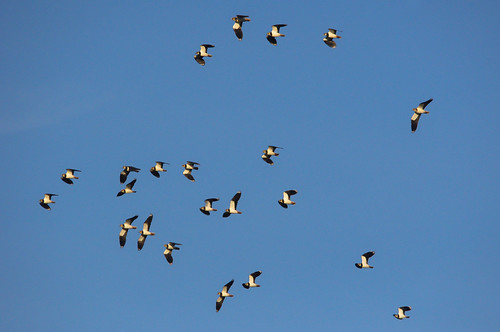 Flock of Lapwing - Bann Meadows | by Alistair Prentice.