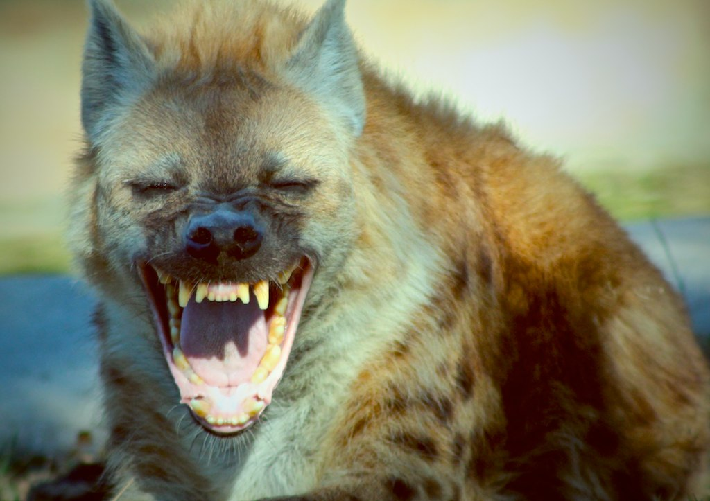 Laughing hyena clipart - ClipartFest