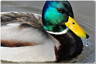 © • Male Mallard • Stockente • | by M.A.K.photo