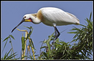 Spoonbill (Platalea leucorodia) | by Suri JV (on and off)