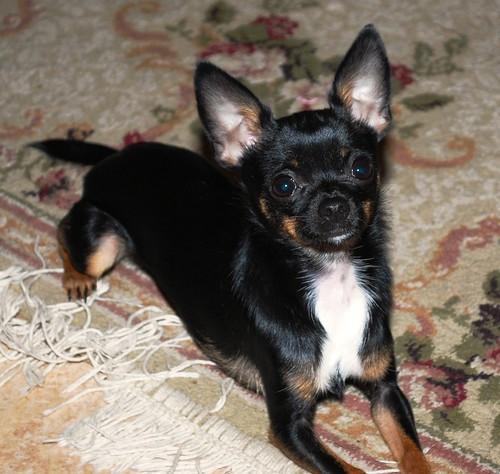 R Chihuahuas Smart My sweet 4 lb. chihuah...
