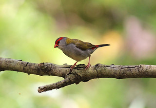 Red-browed Finch | by Janice O'Donnell