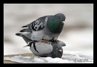 "Rock Doves or Feral Pigeons Mating | by annjbee ""Birdie Lover"""