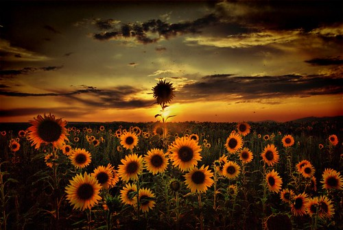 Sunflowers at dusk | by scarbody