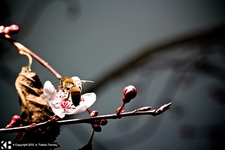 A Bee Snatches a Fresh Blossom | by T bias