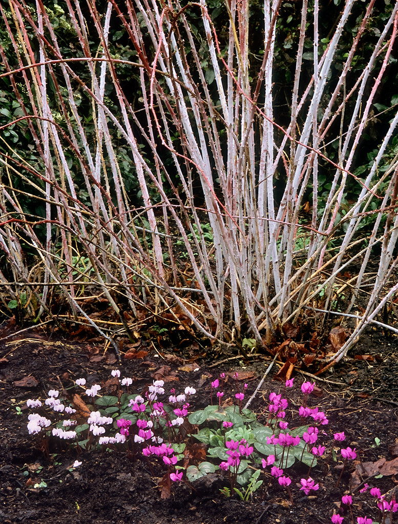 anglesey abbey winter gardens cambridgeshire uk a gard u2026 flickr