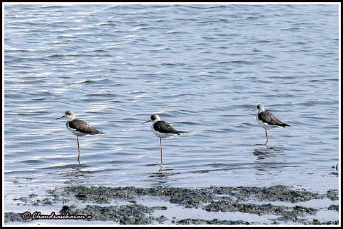1830 black-winged stilt | by chandrasekaran a 44 lakhs views Thanks to all