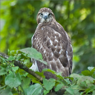 Red-tailed Hawk | by Roy Cohutta
