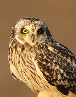 Short eared owl - Wild Bird taken in Lincolnshire uk | by Dean Eades BirdMad Wildlife Photography