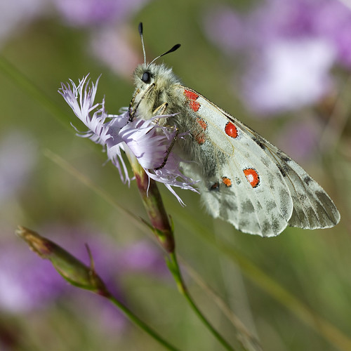 Parnassius apollo | by Sinkha63