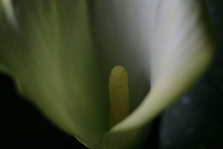 Calla Lily | by TERRY 101650