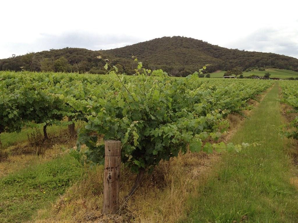 Yarra Yering Vineyard