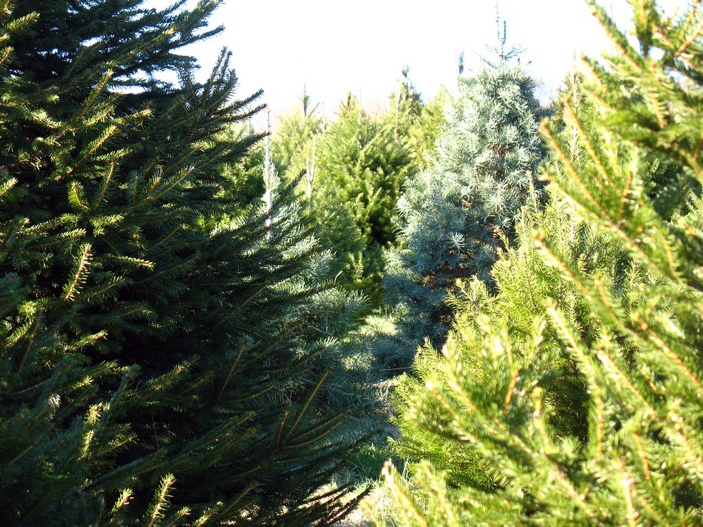 Christmas tree farm on the Sourlands, NJ, USA. | No end in s ...