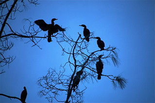 Cormorants Gathered in a Tree at Twilight | by kewzoo