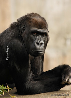 0424 Beautiful Female Gorilla | by Kuku'na Images