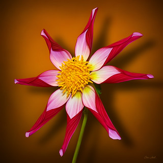 Midnight Star Dahlia | by ChristopherLeeHewitt