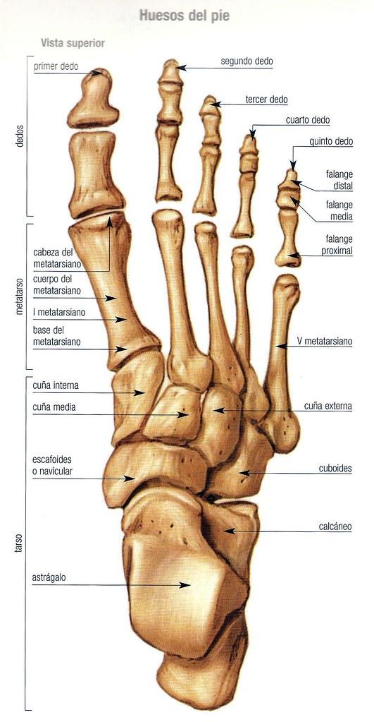 Encantador Huesos En El Pie Friso - Anatomía de Las Imágenesdel ...