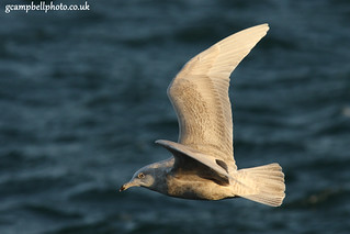 Iceland Gull in Flight | by gcampbellphoto