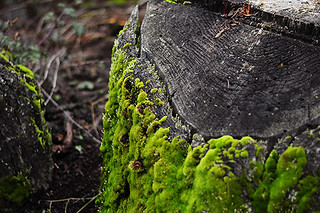 Moss Growing on a Stump | by julianna smith