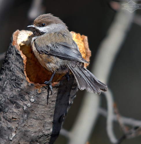 A Boreal Chickadee making a Nest in a Tree | by kdee64