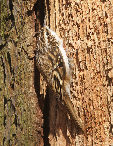 Jeepers Treecreeper, Where D'you Get Those Peepers | by Dan Belton ( No Badger Cull )