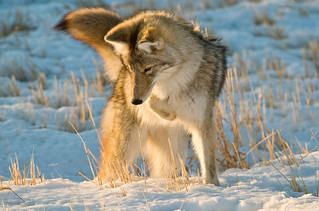 1112_1524 Coyote | by wild prairie man