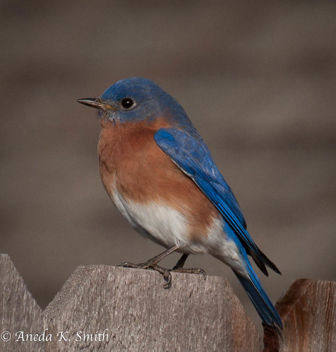 Bluebird on a Fence | by AKS1020