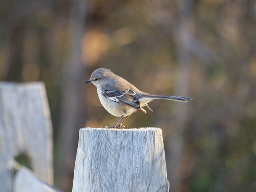 20111219_31_f-1 - Northern Mockingbird (Mimus polyglottos) | by greekstifado - Yanni