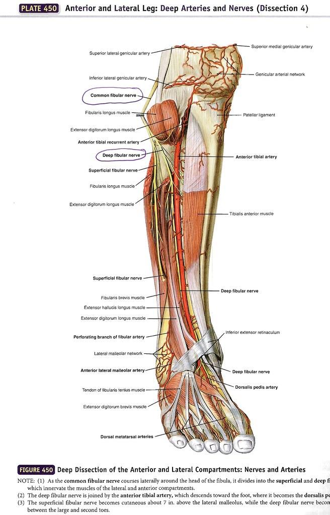 Common and Deep Fibular Nerves 01 | emmanuelsegmen | Flickr