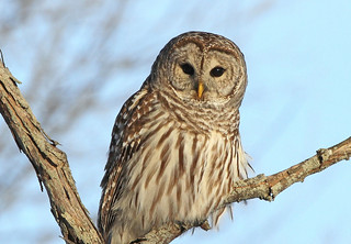 Barred Owl - My favorite! | by Brenda J Hartley