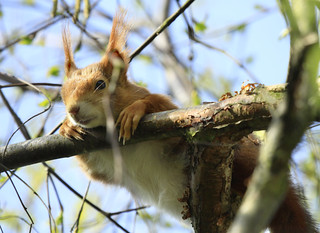 Red Squirrel Relaxing | by Alastair Marsh Photography