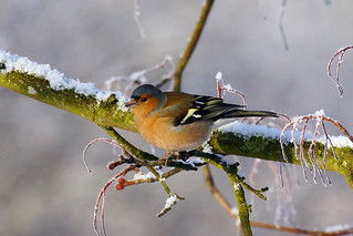 Gorgeous Chaffinch (Best on black) | by SparkleHedgehog