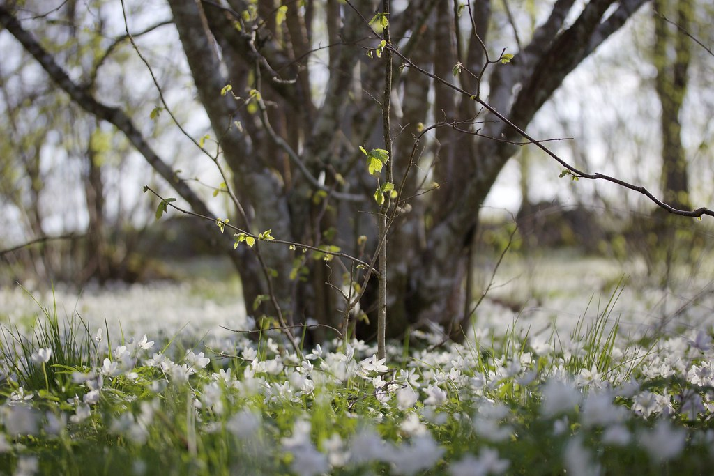Anemone spring - reaktionista.se