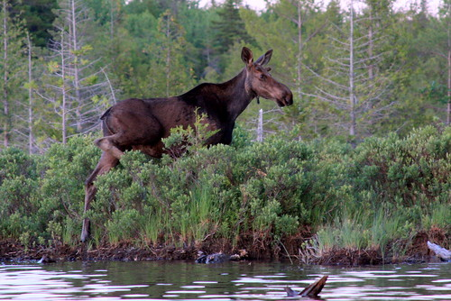 A Maine moose in the wild! | by Dana Moos