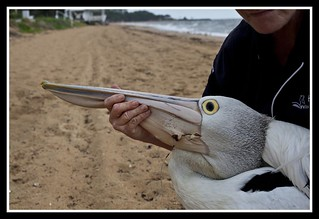 Margate Pelican Rescue- Hook Location-08= | by Sheba_Also 13 Million views