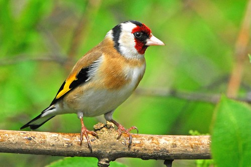goldfinch | by GVG Imaging