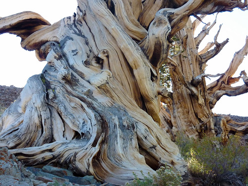 Twisted bristlecone pine | by Alaskan Dude