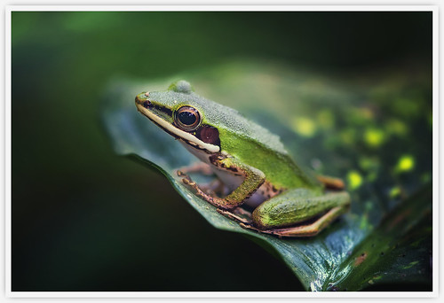 Copper-cheeked Frog | by Vin PSK