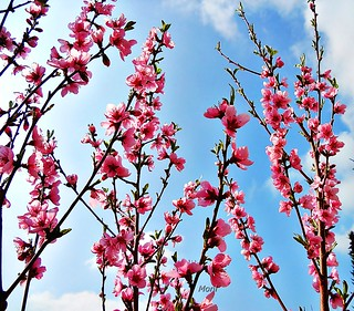 Peach Blossoms ஜ  in the Sky | by ☜✿☞ Moni ☜✿☞