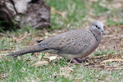 Spotted Dove | by 0ystercatcher