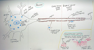 Peripheral Nervous System: Neuron | by Open.Michigan