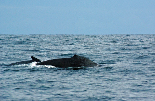 Humpback Whales | by drh_97229