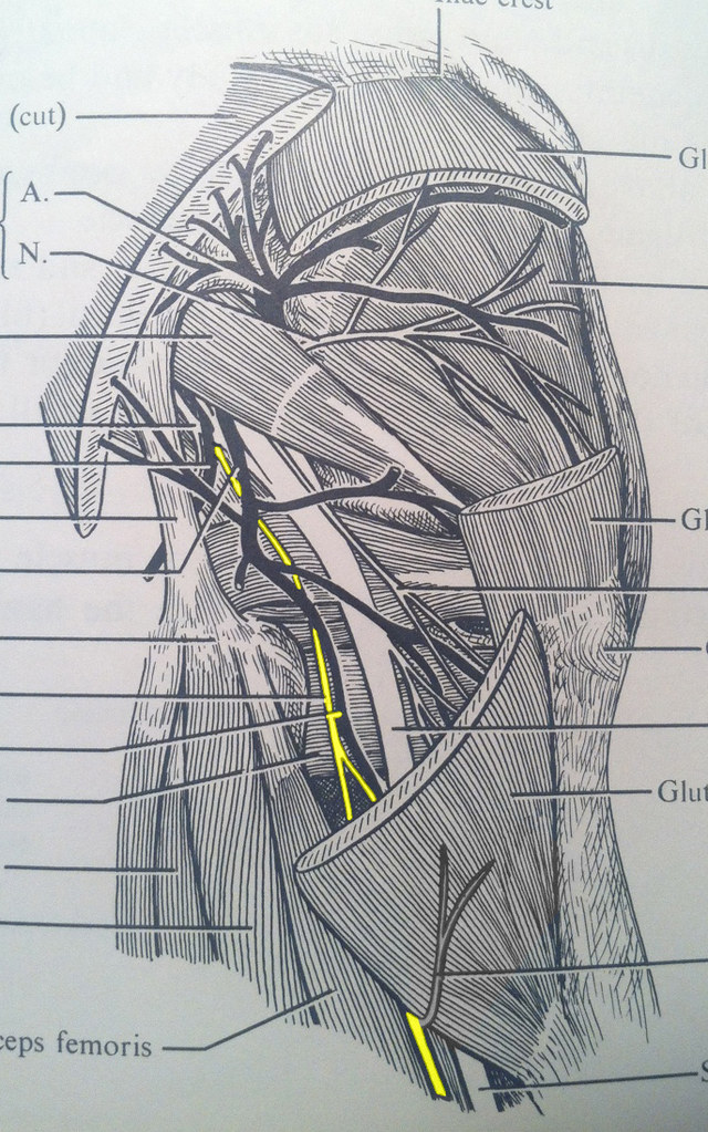 Posterior Femoral Cutaneous Nerve Fickleandfreckled Flickr