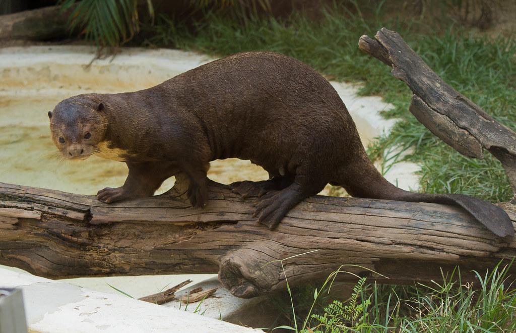 Giant Brazilian Otter Pteronura Brasiliensis Ariranha Flickr