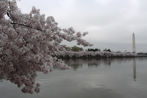 Cherry blossoms, Washington Monument, Washington, D.C. | by aadair4