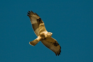 1202_0825 Rough-legged Hawk | by wild prairie man