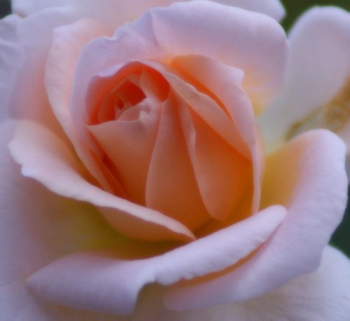 ROSE | by *..AC.Reb..*