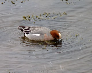 Eurasian Wigeon with snow flurries coming down around it | by Dendroica cerulea
